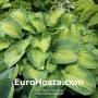 Hosta Brother Stephan
