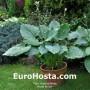 Hosta Brutus - Eurohosta