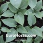 Hosta Canadian Blue - Eurohosta