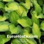 Hosta Captain Kirk - Eurohosta