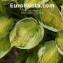 Hosta Captain's Adventure - Eurohosta