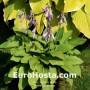 Hosta Chartreuse
