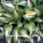 Hosta Christmas Candy - Eurohosta