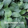 Hosta Clear Fork River Valley - Eurohosta