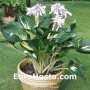 Hosta Clifford's Stingray - Eurohosta