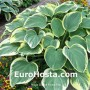 Hosta Clifford's Forest Fire - Eurohosta