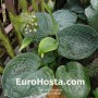 Hosta Cloudburst - Eurohosta