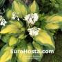 Hosta Color Glory - Eurohosta