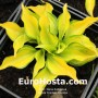 Hosta Cracker Crumbs - Eurohosta