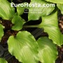 Hosta Cranberry Wein