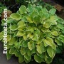 Hosta Cream Edger