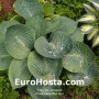 Hosta Deep Blue Sea - Eurohosta
