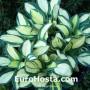 Hosta Desert Mouse - Eurohosta