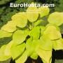 Hosta Designer Genes - Eurohosta