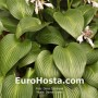 Hosta Devon Green - Eurohosta