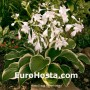 Hosta Diana Remembered - Eurohosta