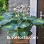 EuroHosta.com  Hosta Abiqua Moonbeam