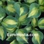 Hosta Dream Queen - Eurohosta