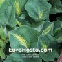 Hosta Dream Weaver - Eurohosta