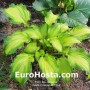 Hosta Emerald Ruff Cut - Eurohosta
