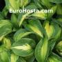 Hosta Epiphany - Eurohosta