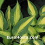 Hosta Extasy - Eurohosta
