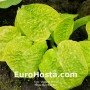 Hosta Eye Catcher - Eurohosta