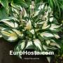 Hosta Fire and Ice - Eurohosta