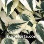 Hosta Firn Line  - Eurohosta