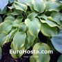 Hosta Fool´s Gold - Eurohosta