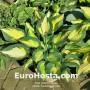 Hosta Forbidden Fruit - Eurohosta