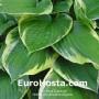 Hosta Fortunei Auremarginata - Eurohosta