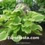 Hosta Fragrant Bouquet - Eurohosta