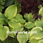 Hosta Fragrant Bouquet - Eurohosta