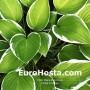 Hosta Francee - Eurohosta