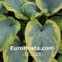 Hosta Frances Williams - Eurohosta