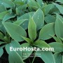 Hosta Frosted Dimples - Eurohosta