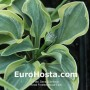 Hosta Frosted Mouse Ears - Eurohosta