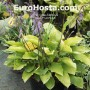 Hosta Fruit Punch