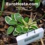 Hosta Funny Mouse Ears - Eurohosta