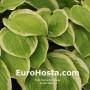 Hosta Gaiety - Eurohosta