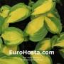 Hosta Georgia Sweetheart - Eurohosta