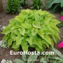 Hosta Gold Edger - Eurohosta