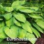 Hosta Gold Standard - Eurohosta