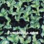 Hosta Golden Meadows - Eurohosta