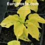Hosta Golden Needles - Eurohosta
