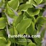 Hosta Golden Tiara - Eurohosta