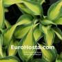 Hosta Grand Marquee - Eurohosta