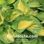 Hosta Great Expectations - Eurohosta