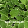 Hosta Green Gold - Eurohosta